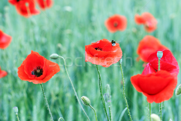 Poppies flower and bee spring season Stock photo © goce