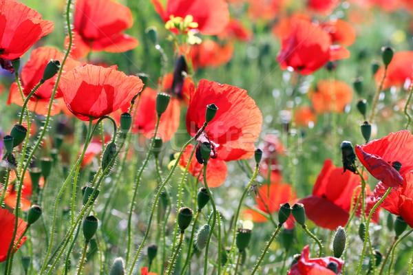 Coquelicots champ de fleurs printemps saison fleurs paysage Photo stock © goce