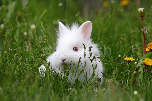 Anão branco coelho grama verde primavera bebê Foto stock © goce