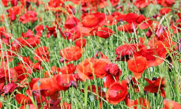 Pavot champ de fleurs printemps saison fleur été Photo stock © goce