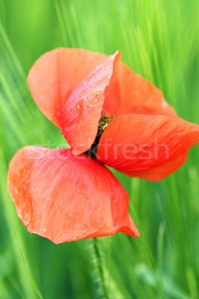 Haşhaş çiçek çiy damla bahar sezon Stok fotoğraf © goce