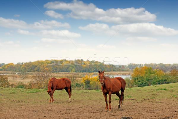 two horses on pasture autumn season Stock photo © goce