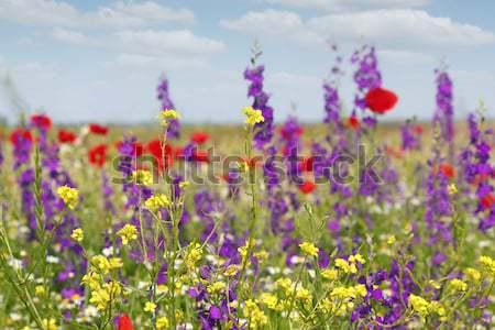 Pradera flores silvestres naturaleza verano verde color Foto stock © goce