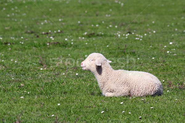 cute little lamb lying on pasture Stock photo © goce