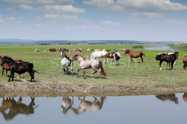 horses running on field farm scene Stock photo © goce