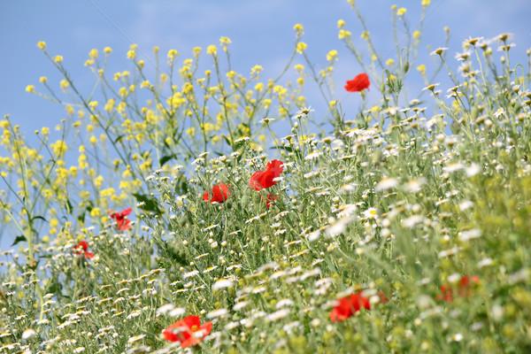 Legelő vad virágok természet jelenet égbolt tájkép Stock fotó © goce