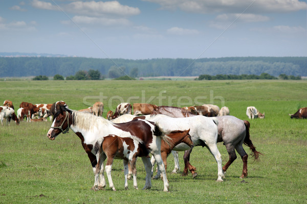horses and foals on pasture Stock photo © goce