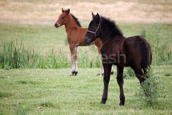Stock photo: brown and black foal on field