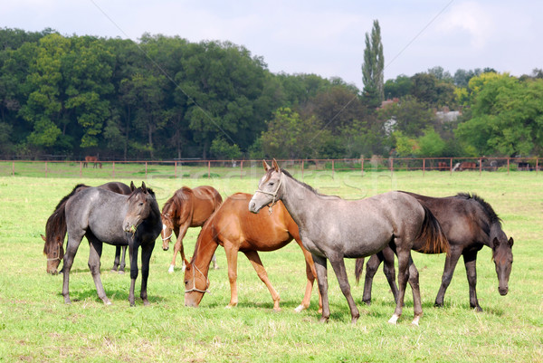 herd of horses in pasture Stock photo © goce