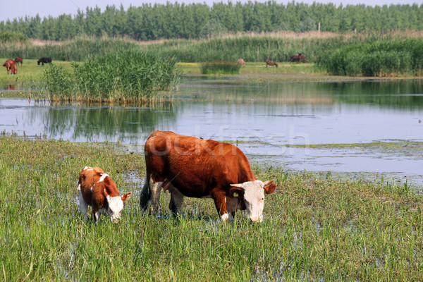 cow and calf on pasture near river Stock photo © goce