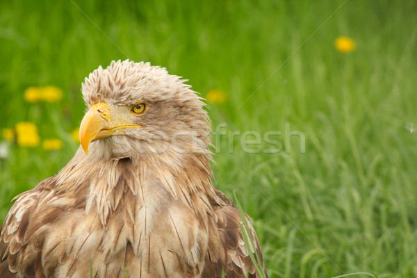 white tailed eagle portrait Stock photo © goce