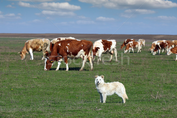 Chien de berger troupeau vache chien herbe nature Photo stock © goce