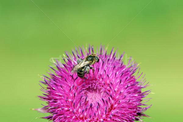 Bee on purple flower nature spring season Stock photo © goce