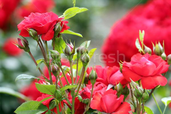 roses nature spring scene Stock photo © goce