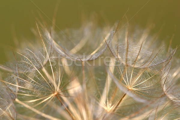 dandelion close up nature background  Stock photo © goce