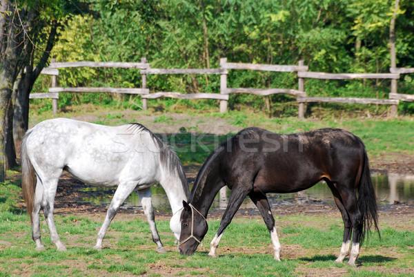 Feketefehér ló fa természet mező zöld Stock fotó © goce