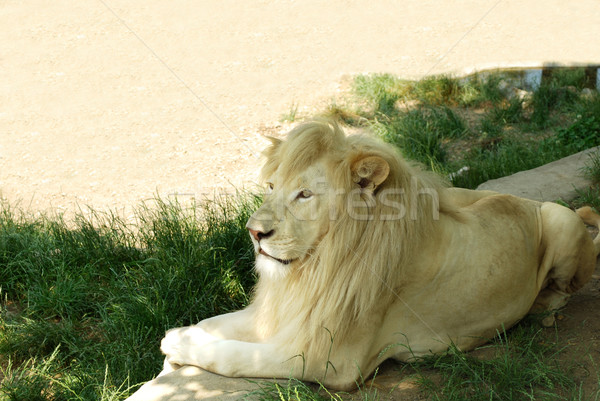 white lion Stock photo © goce