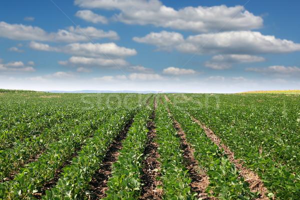 Szójabab mező nyár évszak mezőgazdaság égbolt Stock fotó © goce