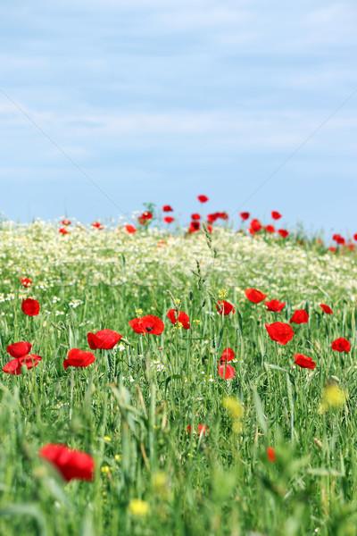 Flores silvestres prado blue sky paisagem natureza verão Foto stock © goce