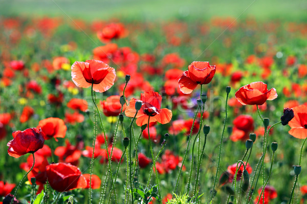 poppies flower meadow morning spring season Stock photo © goce
