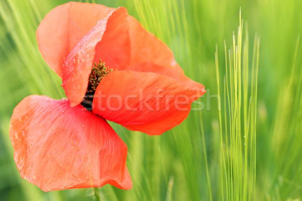 Piros pipacs virág harmat cseppek tavasz Stock fotó © goce