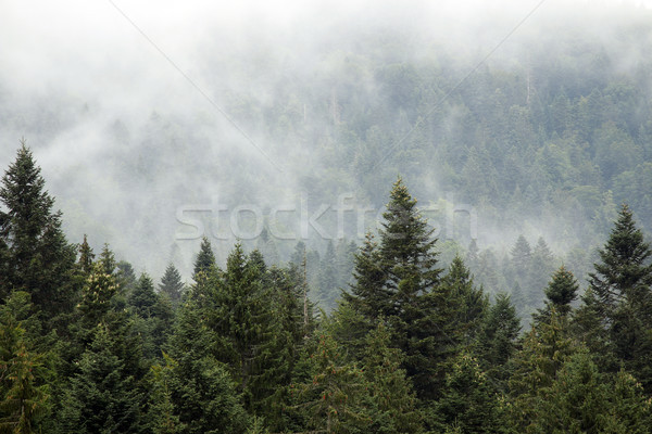 mountain forest in the fog autumn season Stock photo © goce