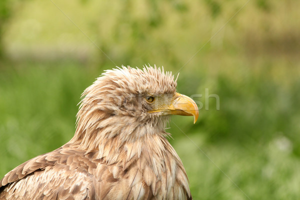 eagle portrait haliaeetus albicilla  Stock photo © goce