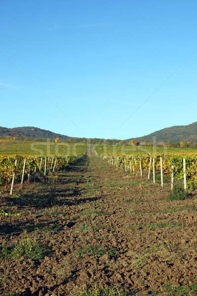 Vineyard and hills landscape autumn season agriculture Stock photo © goce
