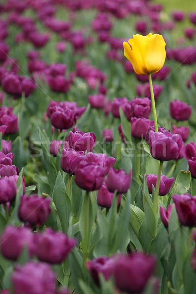 саду Purple один желтый цветок весны природы Сток-фото © goce