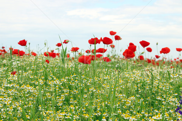 Dziki kwiat łące wiosną sezon niebo charakter Zdjęcia stock © goce
