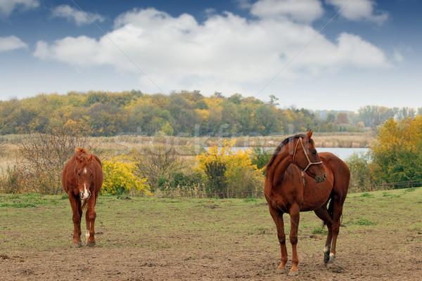 two brown horses on pasture autumn season Stock photo © goce