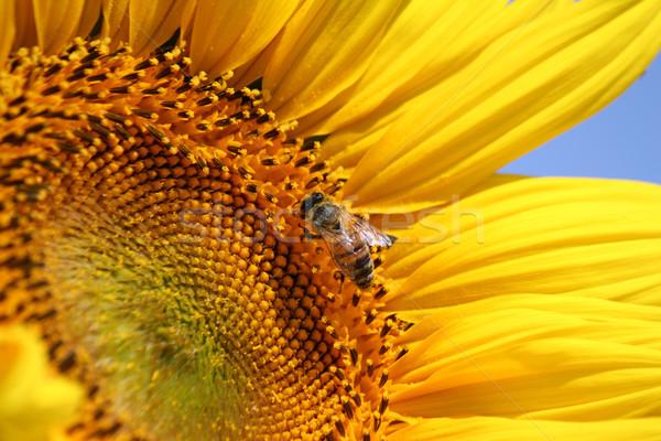 bright yellow sunflower and bee Stock photo © goce