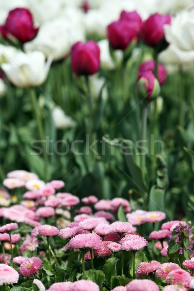 Daisy tulipe jardin de fleurs printemps saison nature Photo stock © goce