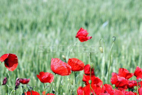 red poppies flower nature spring season Stock photo © goce