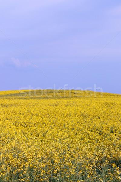 Vergewaltigung Bereich Landschaft Landwirtschaft Himmel Blume Stock foto © goce