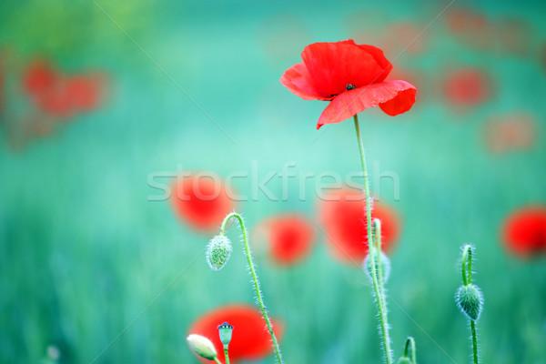 Papoula flor natureza primavera temporada paisagem Foto stock © goce