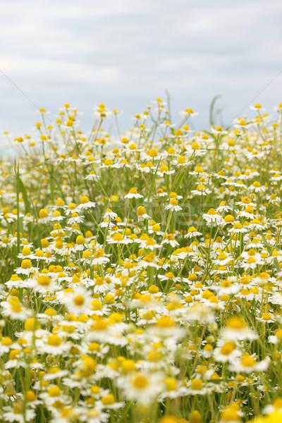 Rumianek dziedzinie krajobraz wiosną sezon niebo Zdjęcia stock © goce