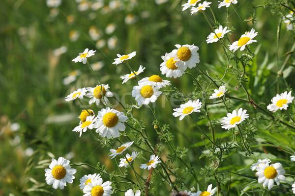Kamilla virág zöld legelő tavasz természet Stock fotó © goce
