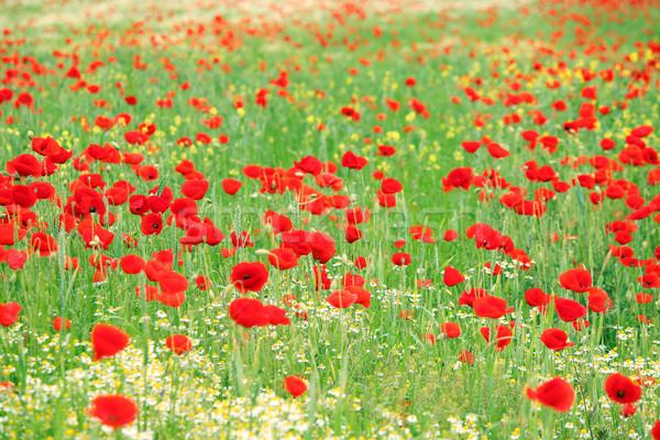 Rojo amapola flores silvestres pradera primavera naturaleza Foto stock © goce