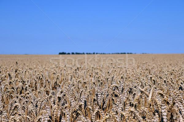 Búzamező tájkép nyár évszak természet mező Stock fotó © goce