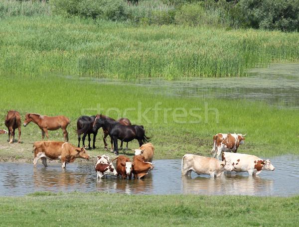 家畜 川 自然 馬 牛 ファーム ストックフォト © goce