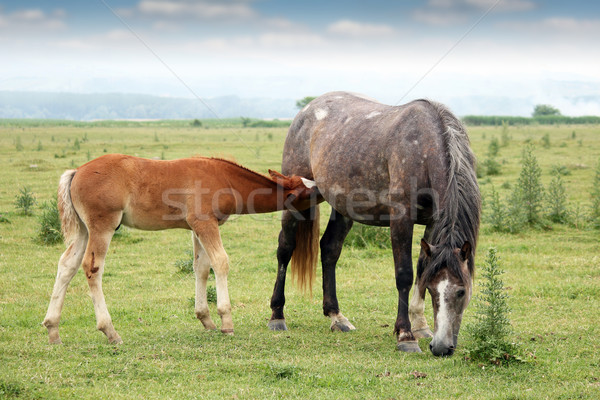 foal breastfeeding in the field Stock photo © goce