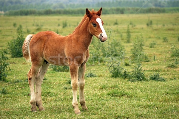 brown horse foal on pasture Stock photo © goce