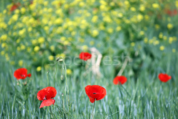 red poppies flower rural landscape spring season Stock photo © goce