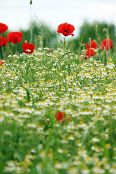 Wildflowers meadow spring season nature Stock photo © goce