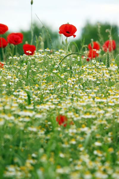 Vadvirágok legelő tavasz évszak természet virág Stock fotó © goce