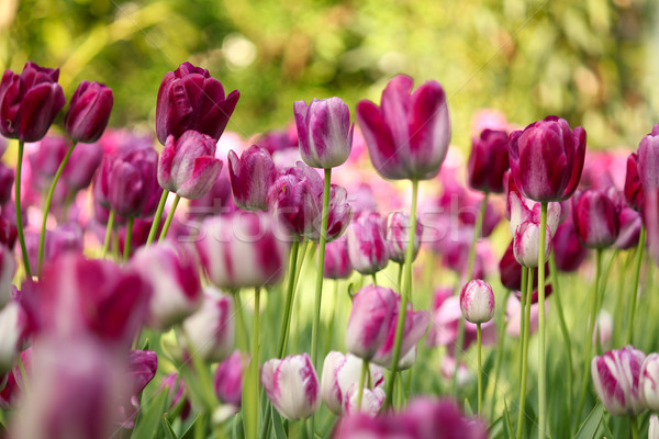 colorful tulip flower Stock photo © goce
