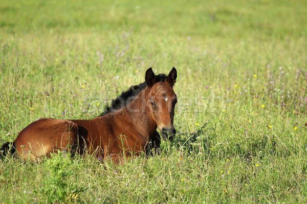 Stock fotó: Ló · csikó · nyár · testtartás · természet · mező