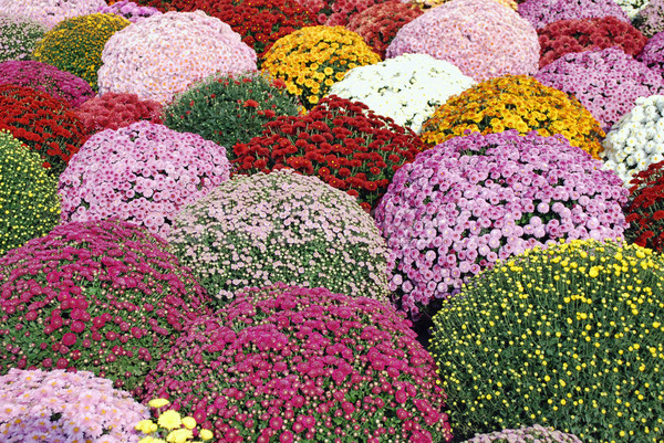 colorful autumn flower Stock photo © goce