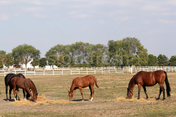 horses and foals on the farm Stock photo © goce